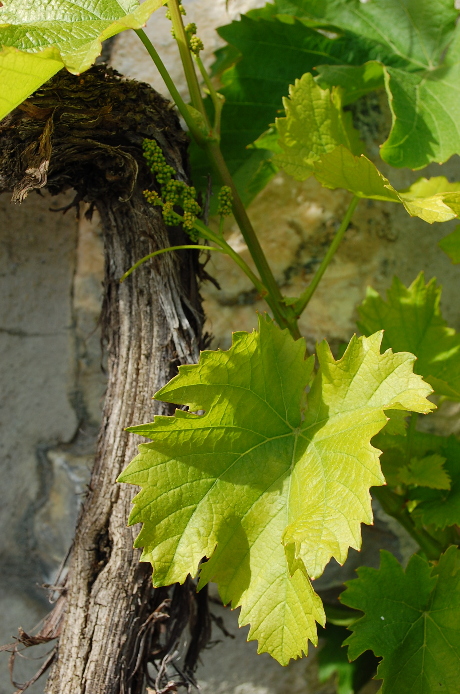 Petite grappe feuille